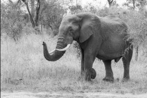 South African Safari African Elephant