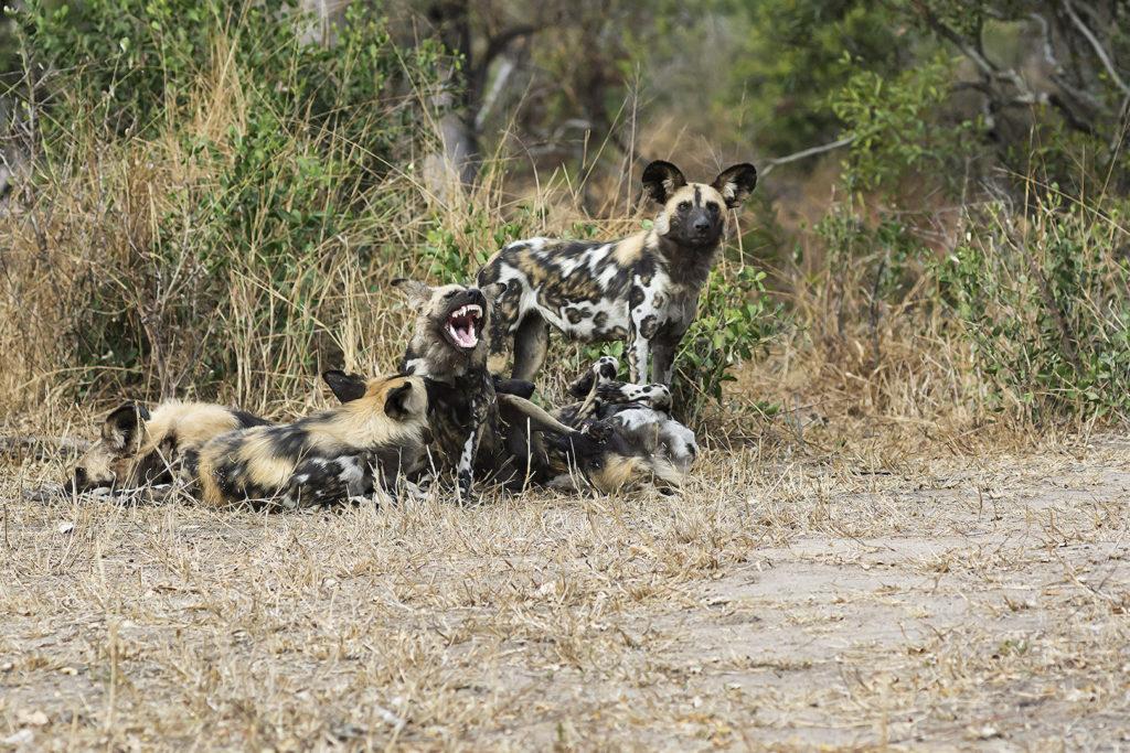South African Safari Wild Dog