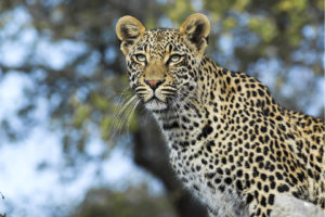 South African Safari Leopard on an Anthill