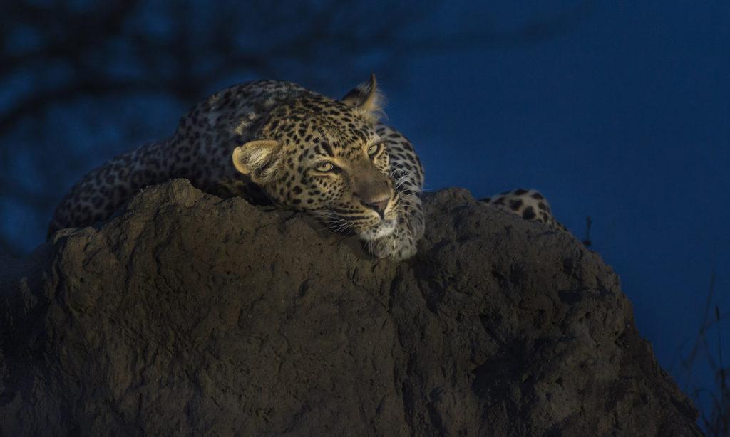 South African Safari Leopard at Dusk