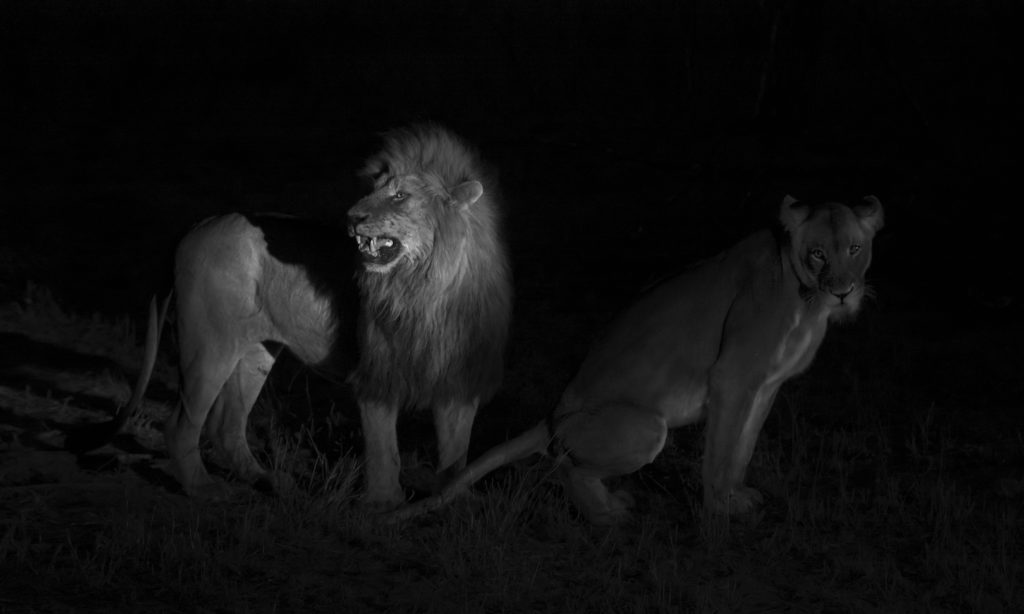 South-African-Photographic-Safari-Lions-Mating-Under-Spotlight