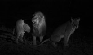 South-African-Safari-Lions-Mating-Under-Spotlight