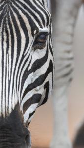 Lens-of-Lawrence-Photographic-Safari-Zebra-profile