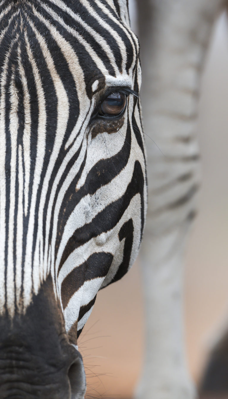Lens-of-Lawrence-Photographic-Safari-Zebra-profile