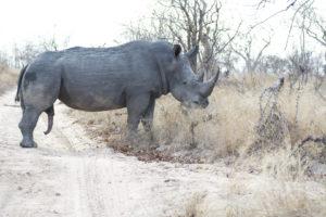South African Safari Rhino